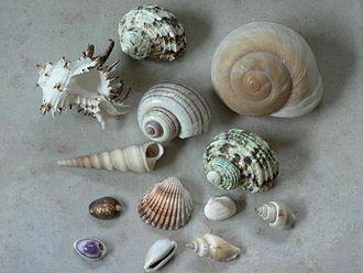 330px-Shells01[1].jpg